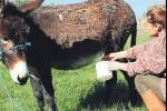 ارتفاع أسعار الحمير في تركيا بسبب زيادة الطلب على حليبها