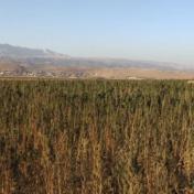 لبنان يدرس تقنين زراعة الحشيش لدعم الاقتصاد