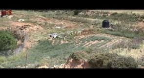زعفران فلسطين.. أغلى توابل العالم
