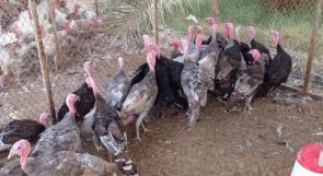 """""""إنفلونزا الطيور"""" في مزرعة شمال الأراضي المحتلة عام 48"""