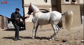 عميد الخيول