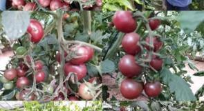 الطماطم السوداء... قصة نجاح من قطاع غزة