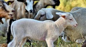 """سوق """"الحلال"""" في جنين يشهد ارتفاعا كبيرا في الأسعار.. ومربو الثروة الحيوانية يخشون من تكدس الأضاحي"""