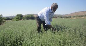 """الزعتر """"ذهب فلسطين الأخضر"""" أهميته أكبر مما نعرف"""