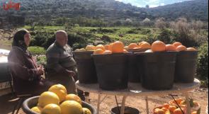وادي قانا: بيارات برتقال وحيدة في مواجهة حقد المستوطنين