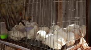 كورونا تكبد مربي الطيور خسائر كبيرة في جنين.. ومناشدات عبر وطن لتعويضهم