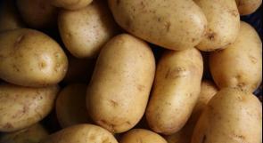 مزارعو البطاطا في الأغوار يتكبدون خسائر بالملايين.. ويحملون الزراعة عبر وطن المسؤولية