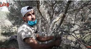غزة.. كورونا تفرض نفسها على طقوس موسم الزيتون