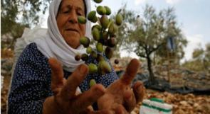 وزارة الزراعة تحدد موعد قطف الزيتون