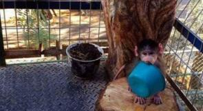 """""""كيكي"""".. قرد مدلل في أحضان عائلة فلسطينية"""