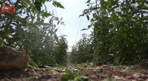 بيت كاحل تواجه كورونا بالزراعة.. مهندسون عاطلون عن العمل نتيجة الجائحة يروون تجربتهم في استصلاح أراضي البلدة