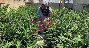 زراعة الزنجبيل على سطح المنزل.. فكرة ريادية هي الاولى من نوعها في فلسطين