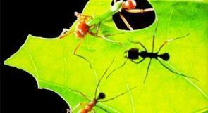 نمل يحمل بكتيريا تحميه من العدوى