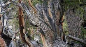شجرة معمرة تحل لغز تأثير المناخ على المحاصيل