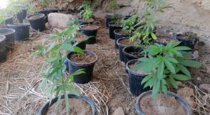 ضبط مشتل للمخدرات يضم أكثر من 1000 شتلة من الماريجوانا المخدرة جنوب الخليل