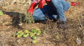 """مرض يصيب """"صبر فقوعة"""" ويضرب الموسم.. والمواطنون يناشدون وزارة الزراعة عبر وطن لإنقاذ أشجارهم"""