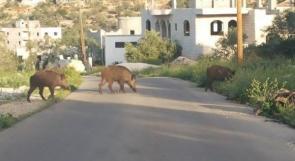 الخنازير البرية.. مسمار إسرائيلي آخر في نعش القطاع الزراعي المترهل