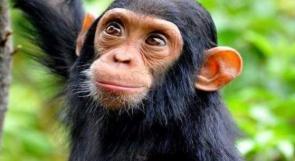 دراسة على القرود تكشف الحقيقة بشأن كورونا والمناعة