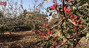 في فرخة قضاء سلفيت.. أول مزرعة فستق حلبي في فلسطين