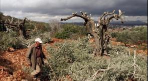 الاحتلال يصادق على تقطيع آلاف أشجار الزيتون جنوب شرق بيت لحم
