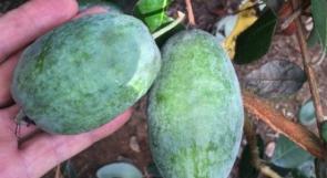 """فاكهة """"الفييجوا"""" تنجح بغزة .. استغنِ عن المنكهات الصناعية وازرعها في فناء المنزل"""