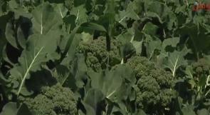 """خاص لـ """"وطن"""": بالفيديو... البروكلي تزرع لأول مرة في شمال الضفة الغربية"""
