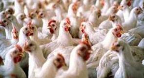 الشرطة تضبط 1200 طير دجاج مهرب من المستوطنات في الخليل