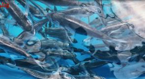 في غزة.. الاستزراع السمكي في مواجهة الحصار