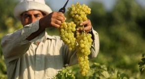 موسم العنب في غزة