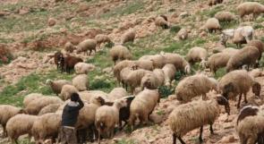 الاحتلال يعتقل محمد نصار خلال رعيه اغنامًا جنوبي نابلس