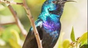 جودة البيئة: ضبط ثلاثة طيور من عصفور الشمس في الخليل وجارٍ إعادتها إلى الطبيعة