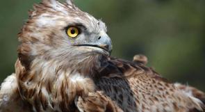 """""""جودة البيئة"""": ضبط طائر عقاب صرارة في نابلس وستجري إعادته إلى الطبيعة"""