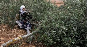 نابلس: مستوطنون يقتلعون أشتال زيتون في قصرة