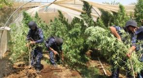 ضبط أكبر مشتل مخدرات في الخليل وكغم قنب هندي في قلقيلية