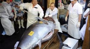 سعر سمكة تونة في اليابان 1.38 مليون يورو
