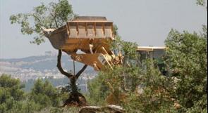 مستوطنون يقتلعون 200 شجرة  زيتون في بيت لحم
