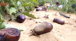 مزارعو غزة يناشدون المسؤولين عبر وطن لتعويض خسائرهم بسبب جائحة كورونا