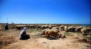 مزارعو يطا يتذمرون من ارتفاع أسعار الأعلاف بشكل كبير.. والزراعة لوطن: الارتفاع نتيجة أزمة عالمية!