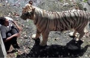لحظات قاسية لنمر يفترس هندي بحديقة حيوانات