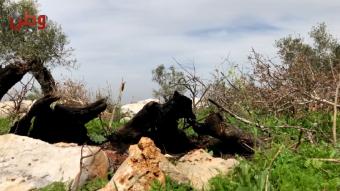 """""""لصوص الحطب"""" يقضون على آلاف أشجار الزيتون المعمر في دير غسانة..  والمواطنون يناشدون عبر وطن لحمايتها"""