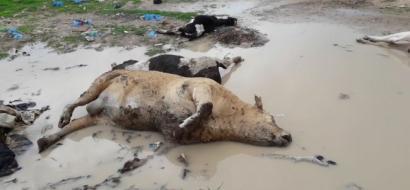 """خاص لـ""""وطن"""": بالفيديو.. """"الحمى القلاعية"""" تقتل أبقار غزة.. واللقاح غير كاف"""