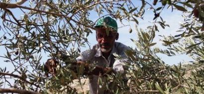 """خاص لـ""""وطن"""": بالفيديو.. """"الزيتون""""..الموسم الذهبي للفلسطينيين وحنين لطقوسه الماضية"""