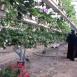 مدينة الفراولة مقصد للمواطنين ومصدر دخل للمزارعين