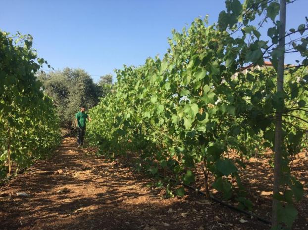 """""""عنب الورق"""" مشروع زراعي ريادي يقوده مزارع في قرية الزاوية"""
