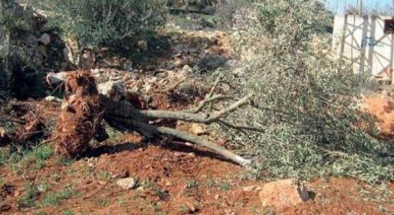 مستوطنون يقتلعون أشتال زيتون في عصيرة الشمالية بنابلس