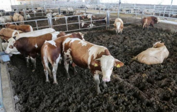 """""""الزراعة"""": سيتم الاستيراد المباشر للعجول من الأسواق العالمية مطلع العام القادم"""