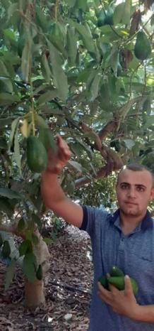 """""""الذهب الاخضر"""" في طولكرم.. مزرعة حسونة تنتج 6 أصناف من الافوكادو وتطالب الحكومة بدعم المنتج المحلي"""