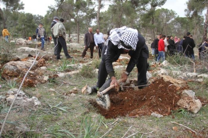 مواطنون يزرعون أشجارا في الأراضي المهددة بالاستيلاء جنوب شرق طولكرم