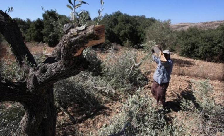 مستوطنون يقطعون 30 شجرة زيتون جنوبي نابلس