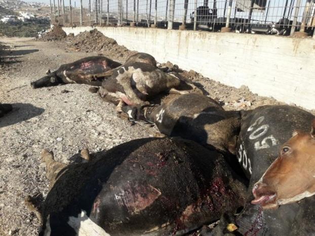 الجنيدي لوطن: 6 مسلحين مجهولين هاجموا مزرعتنا في جنوب الخليل ما أدى الى نفوق 50 رأسا من البقر